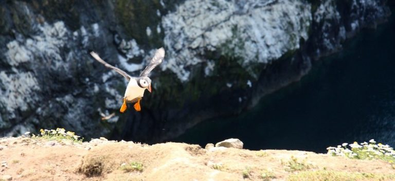 Friday Fun 47: Skomer Puffins