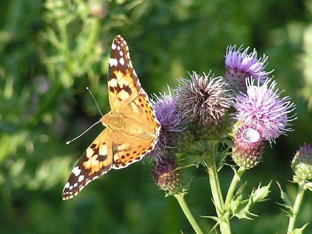Painted Lady on Creeping thistle